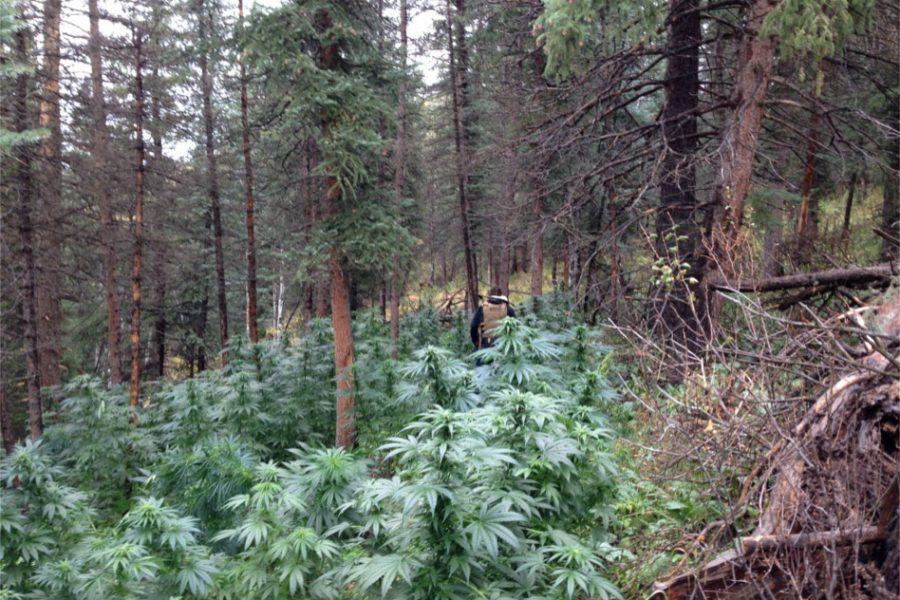 11/11/19 – DEA Data Show Kentucky Has Highest Rate of Illicit Marijuana Plants in US