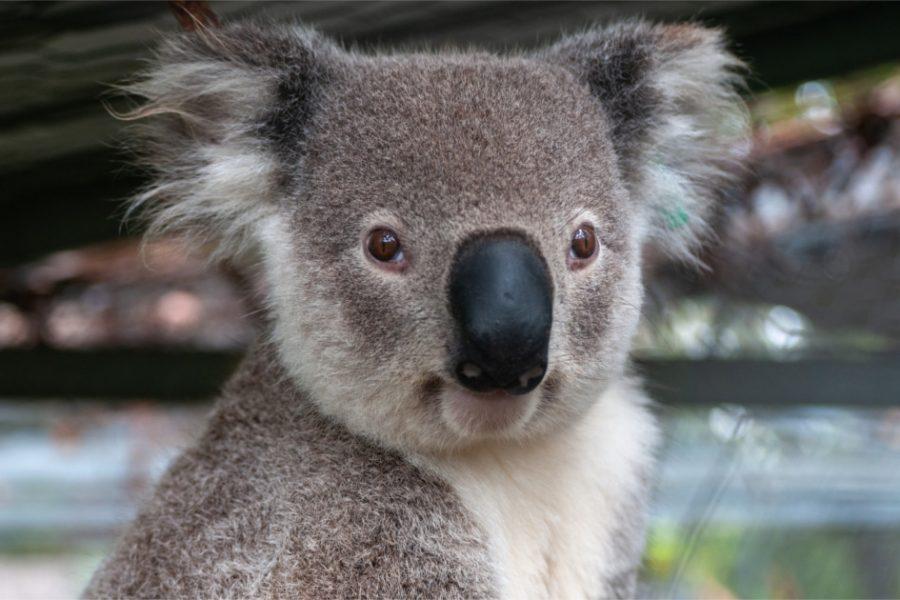 3/9/20 – Australian Wildfires Killed 12% of Koalas, Prompting Extinction Worries
